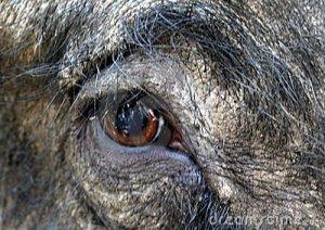 In a boar's eye